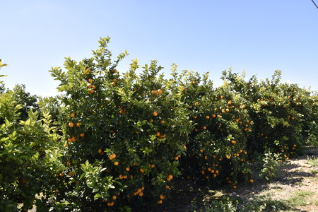 Orange plants on the Algarve coast in Portugal Lagos, Faro, Albufeira, Loul?, Silvers 免版税图像