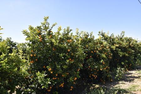Orangenpflanzen an der Algarve-Küste in Portugal Lagos, Faro, Albufeira, Loul?, Silvers