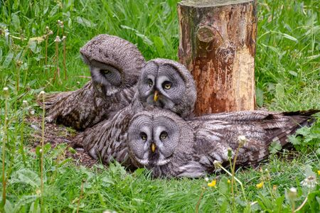 Bearded owl, bearded owl Snowy owl in the wild