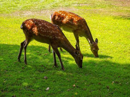 Fallow deer, Sika, roe deer in the wild Standard-Bild