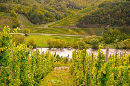 Wine landscape near Cochem and Leiwen on the Mosel Stockfoto - 132100115