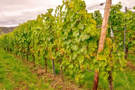 Wine landscape near Cochem and Leiwen on the Mosel Stockfoto - 132099706