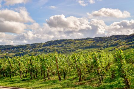 Wine landscape near Cochem and Leiwen on the Mosel