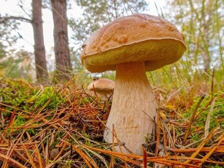 Cep in the woods