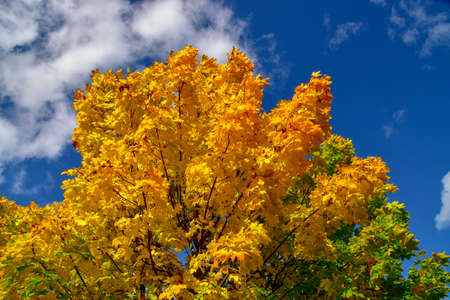 Maple tree with colorfully colored autumn leaves
