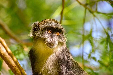 Monkeys in a hotel complex in Kenya