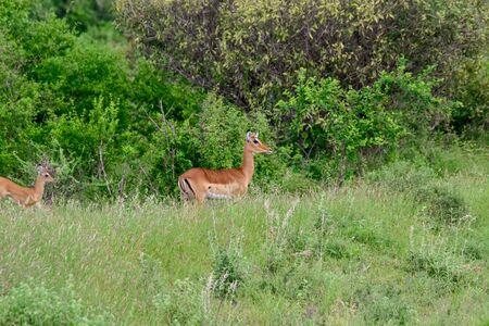 Antelopes in the National Park Tsavo East, Tsavo West and Amboseli in Kenya