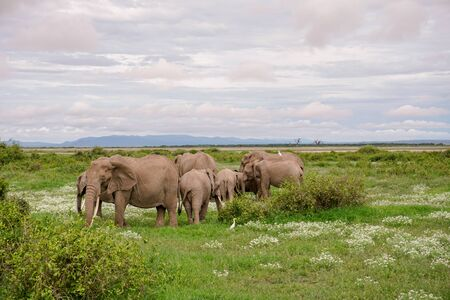 Elephants in the Amboseli National Park in Kenya