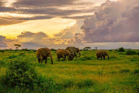 Elephants in the Amboseli National Park in Kenya