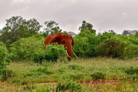 Elephants in the Tsavo East and Tsavo West National Park in Kenya