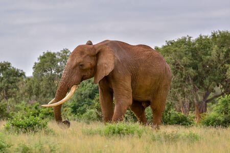 Elephants in the Tsavo East and Tsavo West National Park in Kenya Imagens