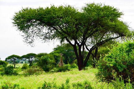 Giraffes in the Tsavo East, Tsavo West and Amboseli National Park in Kenya Imagens