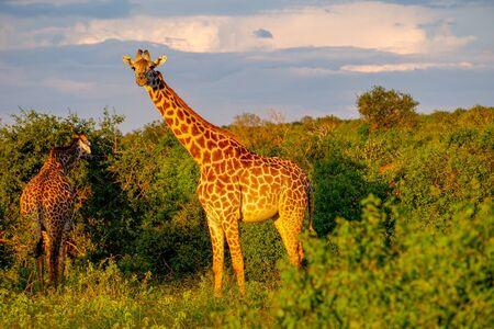 Giraffen im Tsavo East, Tsavo West und Amboseli Nationalpark in Kenia