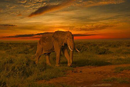 Elephants and sunset in the Tsavo East and Tsavo West National Park in Kenya Standard-Bild