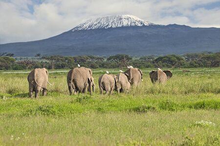 Elephants and Mount Kilimanjaro in Amboseli National Park Stock Photo