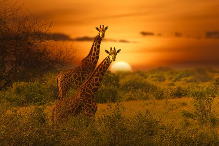 Giraffes and sunset in the Tsavo East and Tsavo West National Park in Kenya