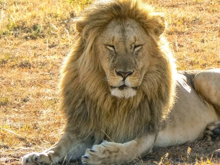 Lions in the savannah in the Tsavo East and Tsavo West National Park Standard-Bild