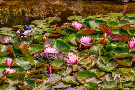 Wild ducks swim on a pond between red water lilies 版權商用圖片