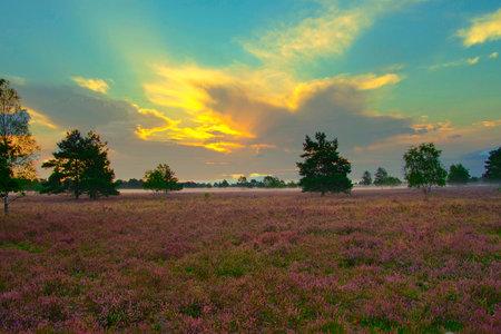 Heath bloom in the Lüneburg Heath near Bispingen Stock Photo