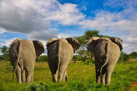 Elephants in Tsavo East and Tsavo West National Park in Kenya Stock Photo