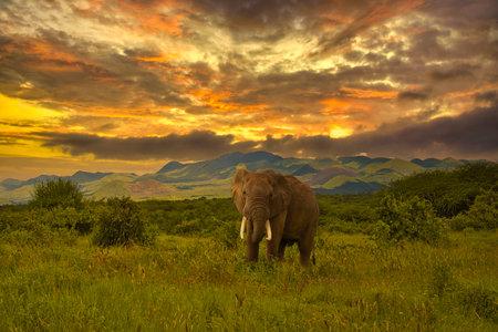 Elephants and sunset in Tsavo East and Tsavo West National Park in Kenya 版權商用圖片
