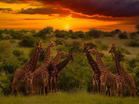 Giraffes and sunset in Tsavo East and Tsavo West National Park in Kenya