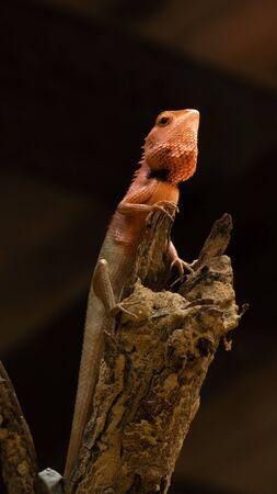 Oriental garden lizard 写真素材