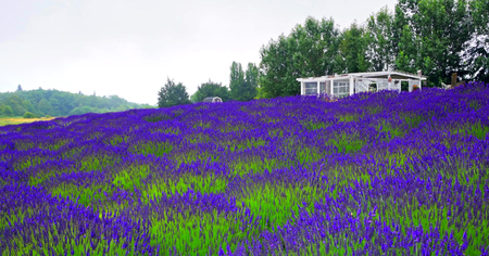 Scenic Nature Washington State - Jardin Du Soleil Lavender. Stock Photo