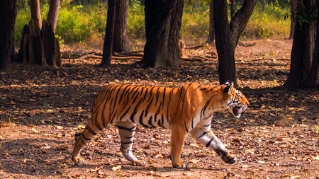 Bengal Tiger, Panthera tigris tigris, in forest, Kanha National Park, Madhya Pradesh, India, Asia. Фото со стока