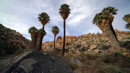 Lost Palms Oasis Hike in Joshua Tree National Park, California, USA.