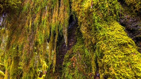 Hoh Rain Forest in Olympic National Park, Washington, USA