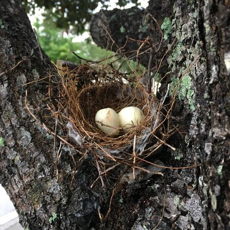 An urban bird nest on an oak tree branch