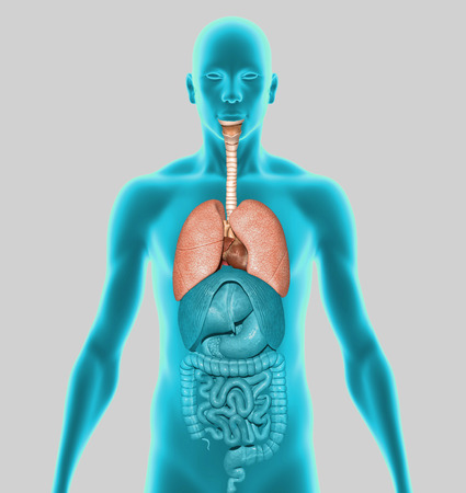 pancreatic cancer: Human Lungs Stock Photo