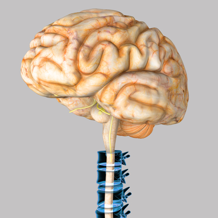 spinal cord: Brain with spinal cord Stock Photo