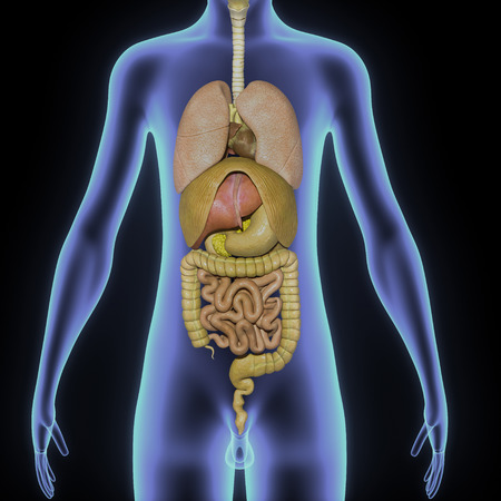 transverse colon: Digestive system lungs Stock Photo