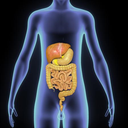 esophagus: Digestive system