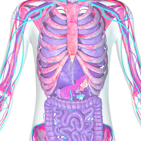 Skeleton and digestive system Stock Photo