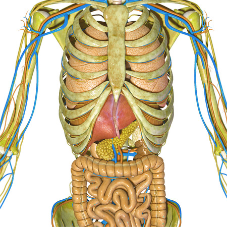 small intestine: Skeleton and digestive system Stock Photo