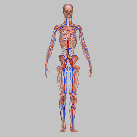 Skeleton with nervous system photo