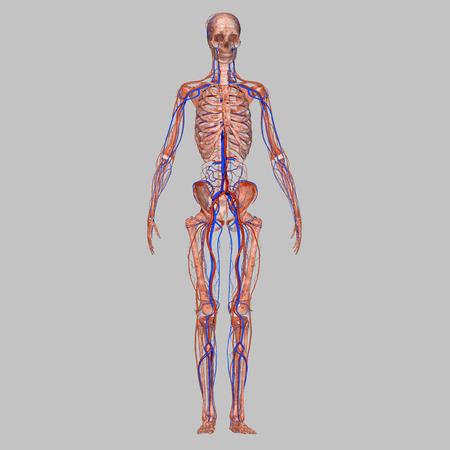 Squelette avec le système nerveux Banque d'images - 36967773