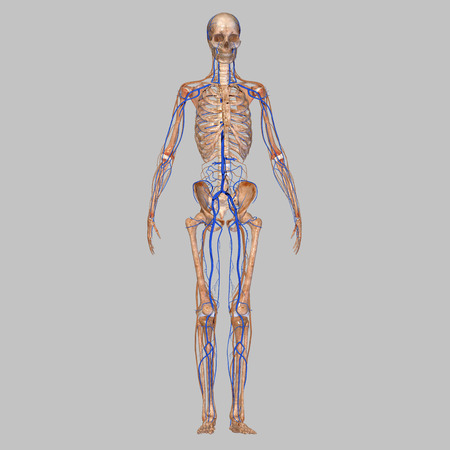 neuropathy: Skeleton with veins