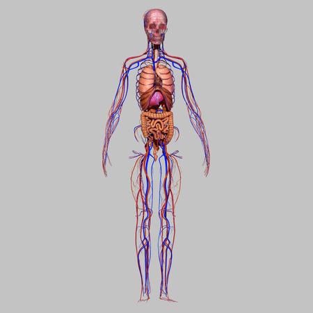 Skull with organs