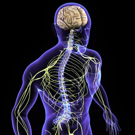 Système nerveux Banque d'images - 37231905