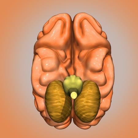 Brain bottom side