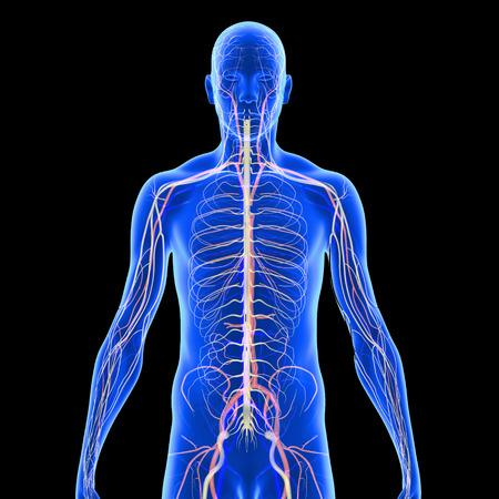 Nervous Anatomy photo