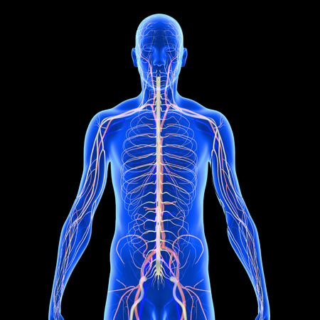 cerebral artery: Nervous Anatomy