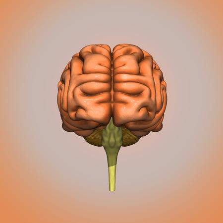 Brain front side
