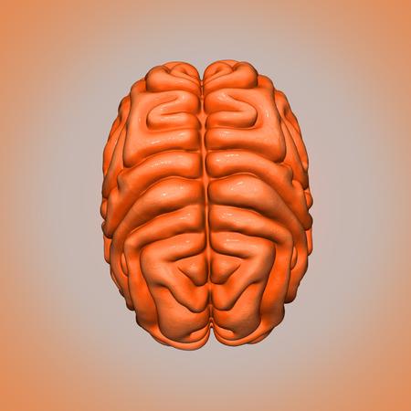 Brain top side