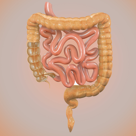 large intestine: Large intestine