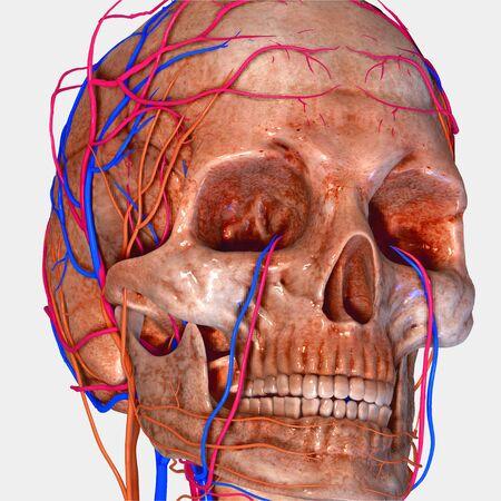 spine x ray: Skull